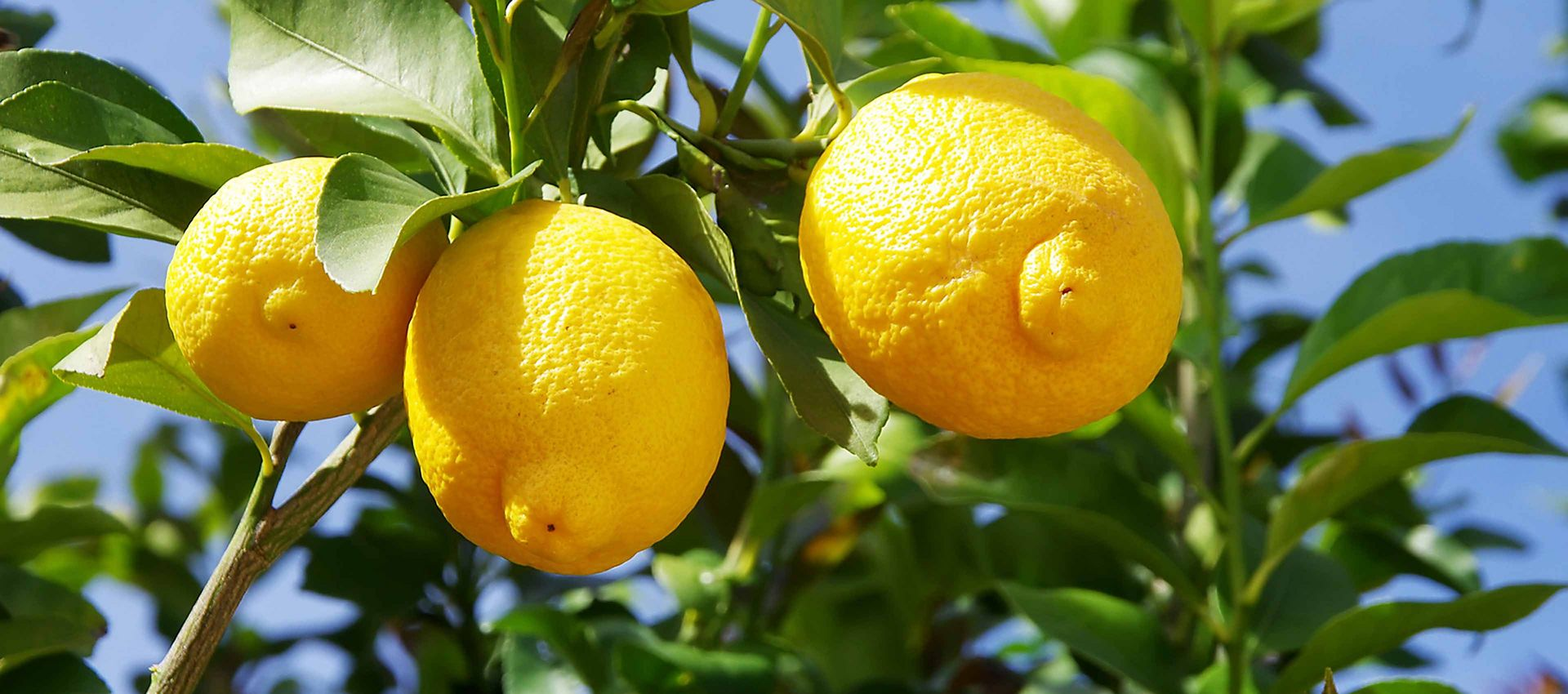 MCI Miritz Lemon
